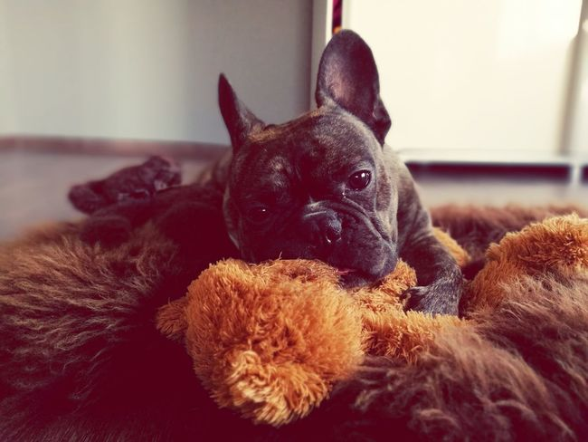 Teddybear Mylove Frenchbulldog Cheese! Slllleeeeppp! Bestshot Check This Out Always Be Cozy Exploring Style