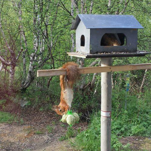 Squirrel Ljungdalen Härjedalen