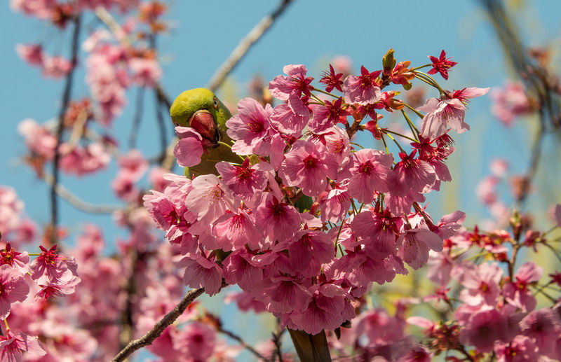 Ah! Found! Bird Photography Cherry Blossoms And Birds Bird Hide-and-seek さくらと鳥 桜花 鳥
