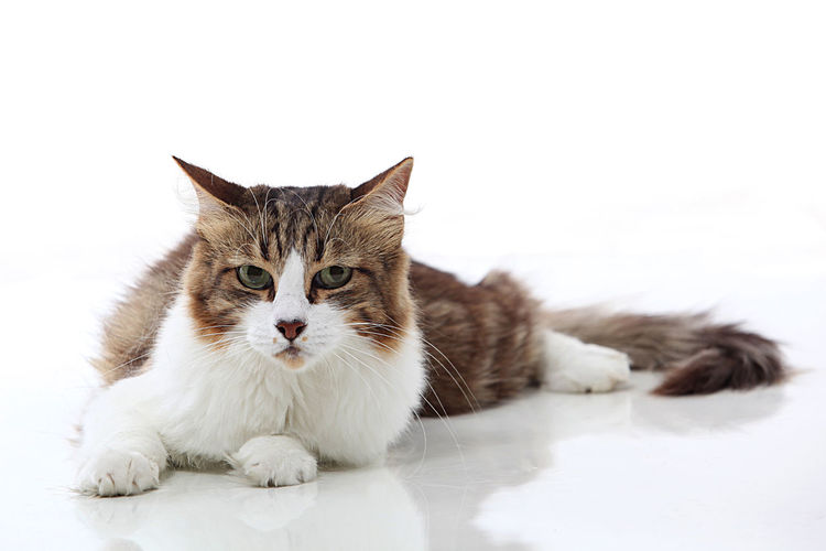Animal Pets Domestic Cat Domestic Animals Lying Down Beauty One Animal Kitten No People Animal Themes Pet Photography  Pet Portrait Studio Shot One Cat Cat Eyes Adoption Studio Photography Pet Photographer Adopt Feline White Background Cat Looking At Camera