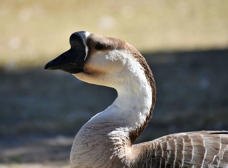 Animal Wildlife Animals In The Wild Beak Close-up Domestic Goose Domestic Swan Goose Focus On Foreground No People One Animal Swan Goose