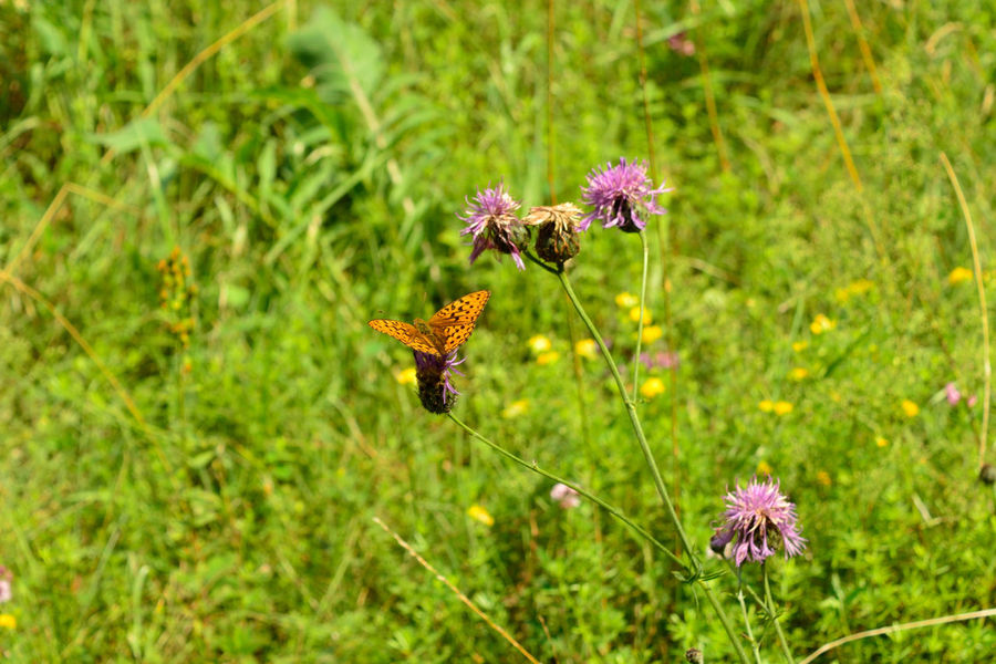 Butterfly on the plant Beauty In Nature Butterfly - Insect Close-up Day Field Flower Flower Head Flowering Plant Focus On Foreground Fragility Freshness Green Color Growth Inflorescence Land Nature No People Outdoors Petal Plant Plant Stem Pollination Purple Vulnerability