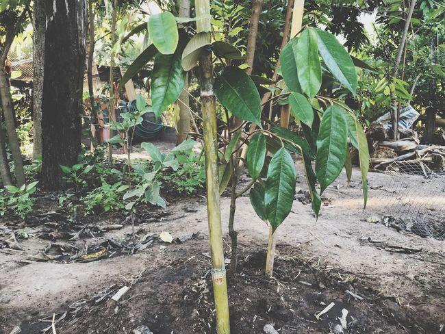 ทุเรียน @home >< Plant Growth Tree Nature Day No People Plant Part