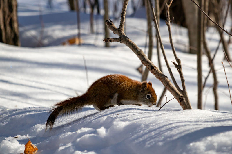 Squirrel searching snow in the woods