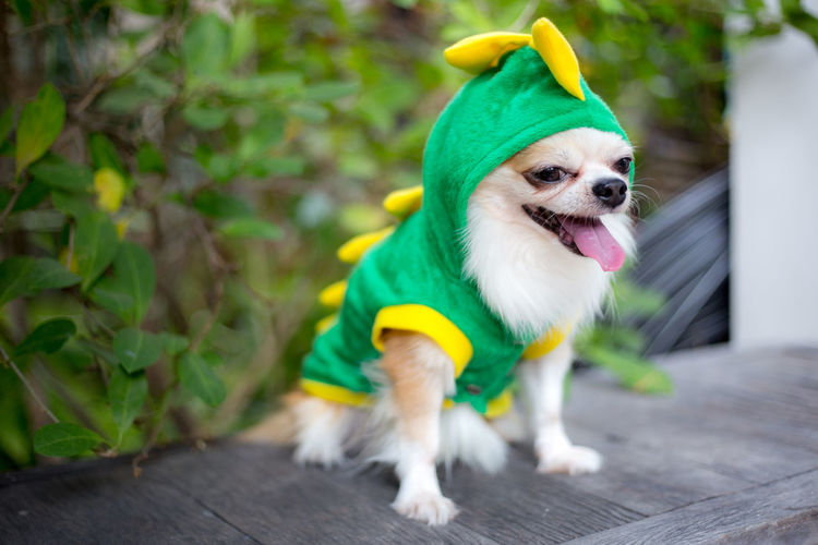 Close-up of dog in costume sitting on wood