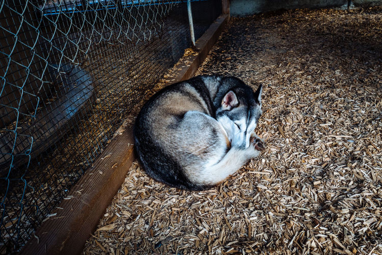 Husky Sleeping In Farm