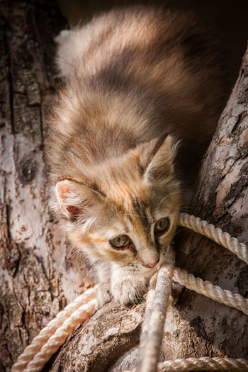 A cute tricolor kitten climbing tree with rope Rope Animal Wildlife Cat Close-up Mammal No People One Animal Tree Young Animal