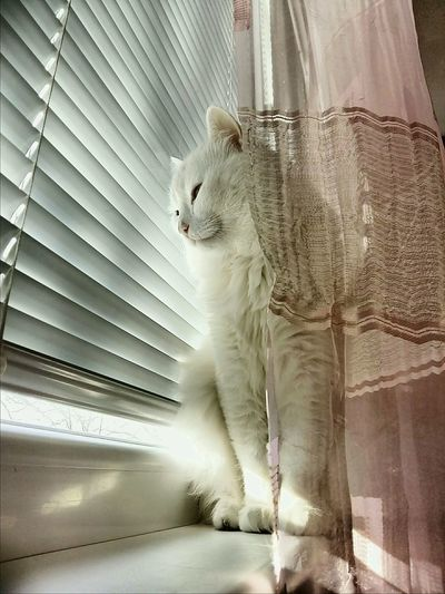 Behind The Curtain What Do You See? Cat Fur Cat On The Window Purr White Cat The City Light BYOPaper! Pet Portraits