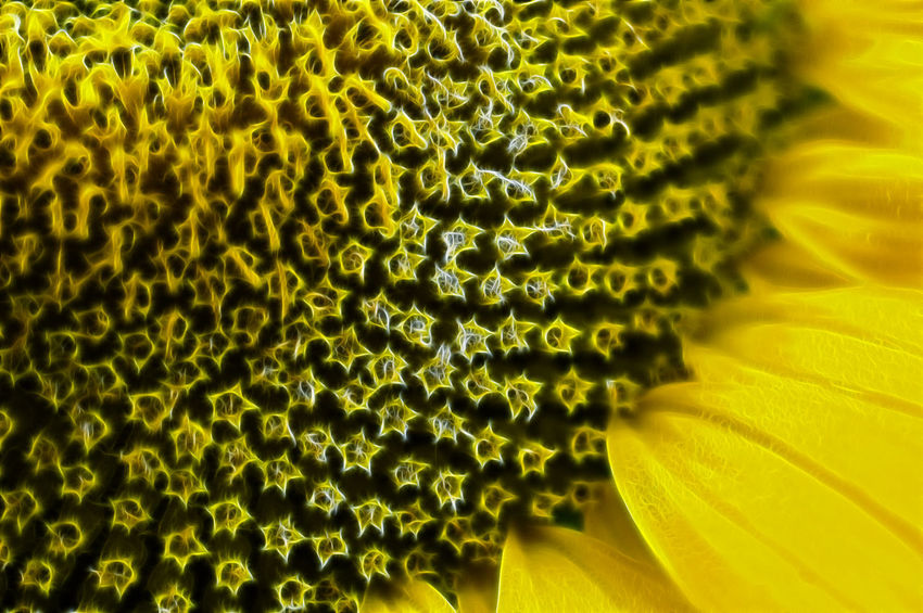 Fractal Sunflower Beauty In Nature Close-up Flower Flower Head Flowering Plant Fractal Fragility Freshness Full Frame Growth Inflorescence Manipulation Natural Pattern No People Petal Plant Pollen Selective Focus Sunflower Vulnerability  Yellow