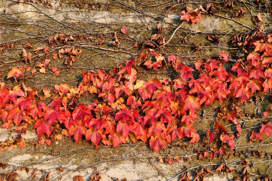 Climbing Plant On A Wall Autumn Autumn Colors Autumn Leaves Red Leaves Full Frame Backgrounds No People Day Outdoors Ivy Red Close-up Nature Fragility