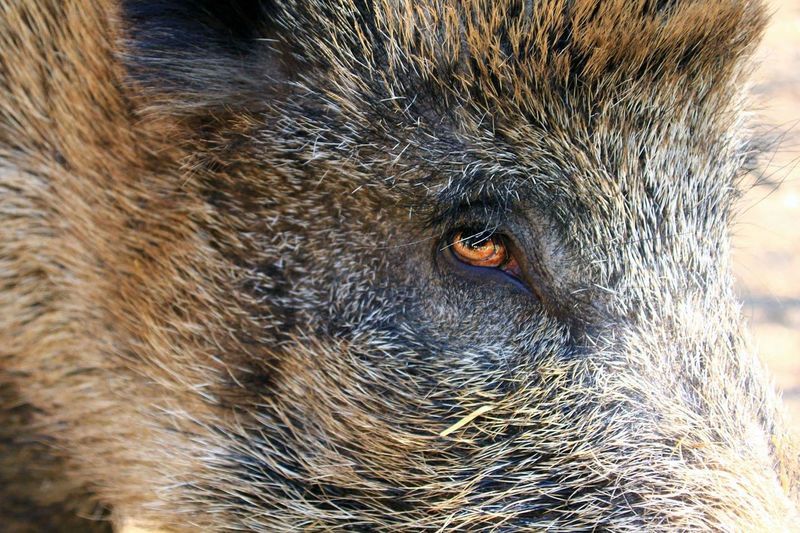 Close-up portrait of boar
