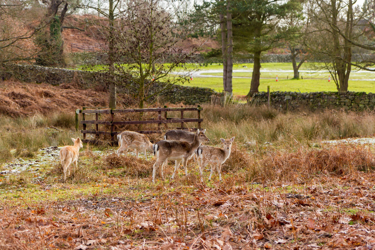 animal themes, animal wildlife, nature, field, grass, animals in the wild, animal, tree, no people, day, outdoors, autumn, mammal, grazing, stag