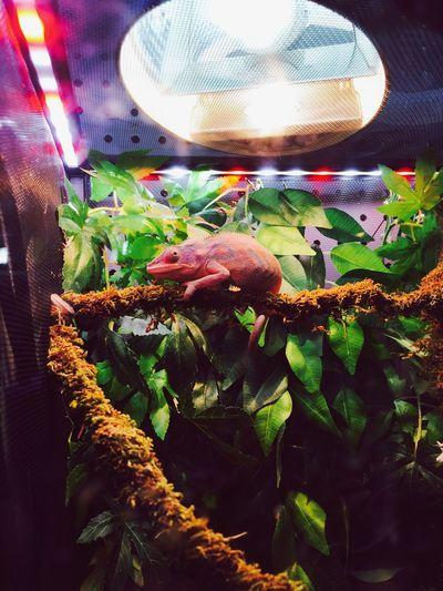 Chameleon Pink Pisces Pet Emporium Reptile Pet Store Natural Habitat Changes Colour