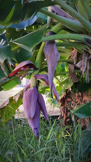 Banana Bananatree Banana Tree Banana Flower Banana Peel Nature Nature_collection Green Nature Green Nature Beauty Nature Photography