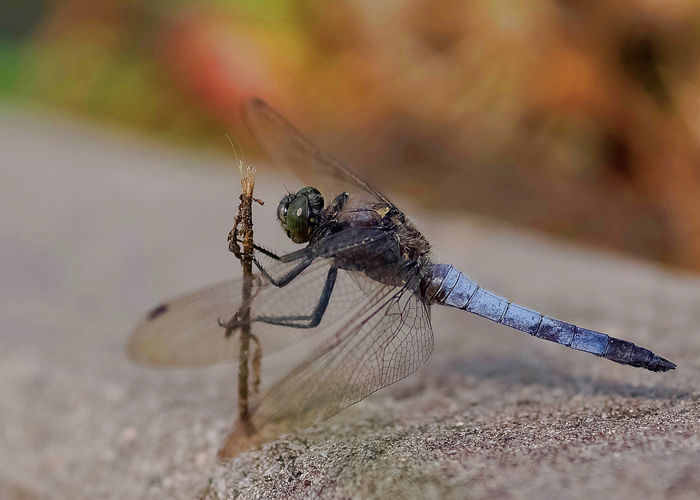 Großer Blaupfeil Animal Wildlife Animals In The Wild Insect Animal Themes One Animal Close-up Focus On Foreground Day Nature No People Animal Wing Outdoors Animal Body Part Macro Libelle Dragonfly Großer Blaupfeil