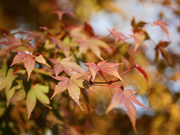 Autumn Leaf Nature Tree Maple Tree Sunlight Branch Outdoors