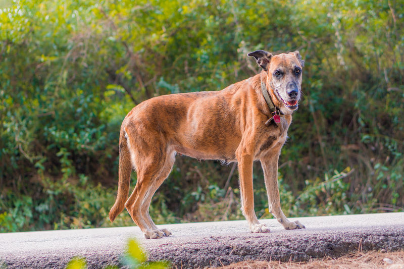 One Animal Mammal No People Domestic Animals Vertebrate Focus On Foreground Dog Dogs Dogslife Pet Portraits Full Length Animal Wildlife Animals In The Wild Standing Day Plant Nature Portrait Side View Outdoors Mouth Open Profile View Pets