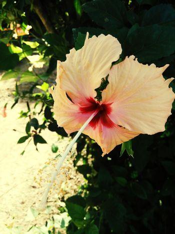 ดอกชบา🌺🌺🌺 Flower Flower Head Nature Beauty In Nature Close-up Fragility Petal Outdoors Freshness No People Springtime Growth Plant Pink Color Day Blossom Pollen Tree
