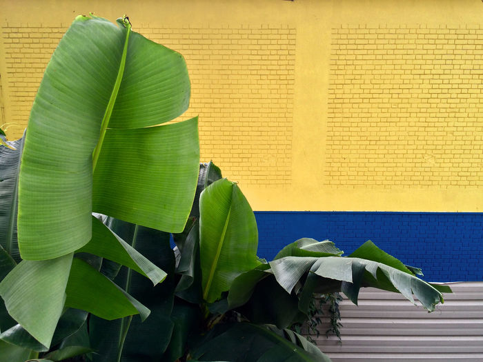 Banana trees against yellow wall
