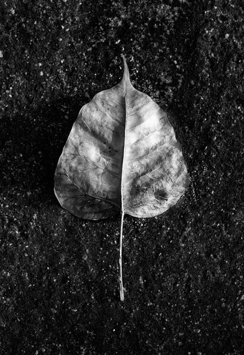 Bo Leaf Beauty In Nature Black Background Close-up Leaf Monochrome Nature No People Outdoors Plant Plant Part Shell Single Object
