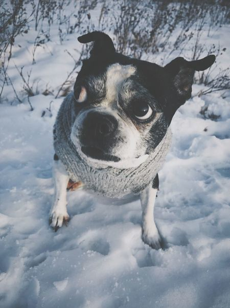 Pet Portraits Sweaterweather Boston Fashion Bostonterrier Adogslife Dogs Of EyeEm Winterwear