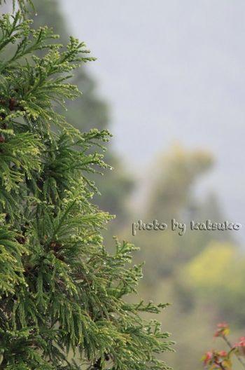 Rain Rainy Day Green Tree Rain Drops Cedar Tree Japan