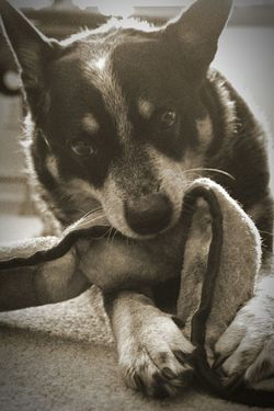 Dog Pets Looking At Camera Cute Lying Down Animal Playing Close-up Indoors