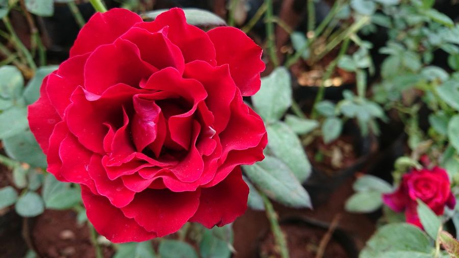 The Exotic Rose Flower Petal Red Rose - Flower Beauty In Nature Flower Head Nature Plant Fragility Day Outdoors Growth No People Peony  Close-up Poppy Freshness Exotic Rose Rosé Red Rose Flower Photography Sony Xperia Photography Sony Xperia Xz1 Nwin Photography Xperian Photography