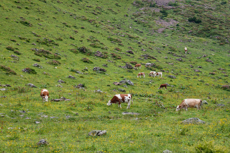 Mountain Cow In Den Bergen In The Mountains Mountain Grassland Grazing Field Animal Themes Grass Green Color Livestock Grassland Cow Countryside Green Highland Cattle Greenery Farm Animal