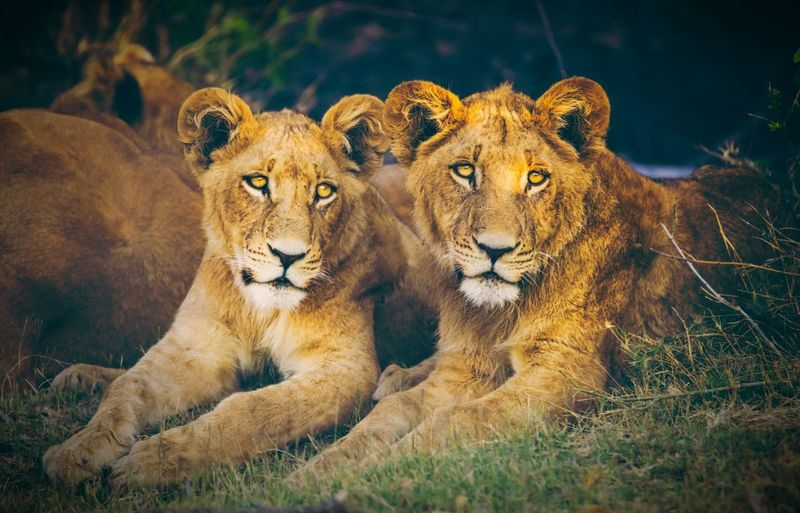 Lions Lion King  Love ♥ Family Together Nature Close-up Nopeople