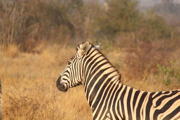 Side view of a zebra on field