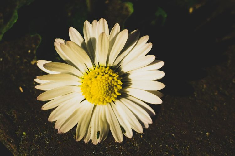Flower Flowering Plant Vulnerability  Fragility Freshness Petal Beauty In Nature Plant Inflorescence Flower Head Close-up Growth Nature Yellow White Color Pollen No People Focus On Foreground Day Outdoors Gazania EyeEm Best Shots EyeEm Selects EyeEm Gallery My Best Photo Springtime Decadence