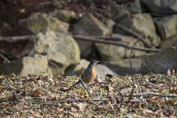 An American Robin posing nicely for me. American Robin Animal Animal Themes Animals In The Wild Arid Climate Bird Bird Photography Birdwatching Change Close Up Close-up Day Focus On Foreground Full Frame Growing No People One Animal Perching Perspective Rough Selective Focus Wildlife Zoology A6000 Sony A6000