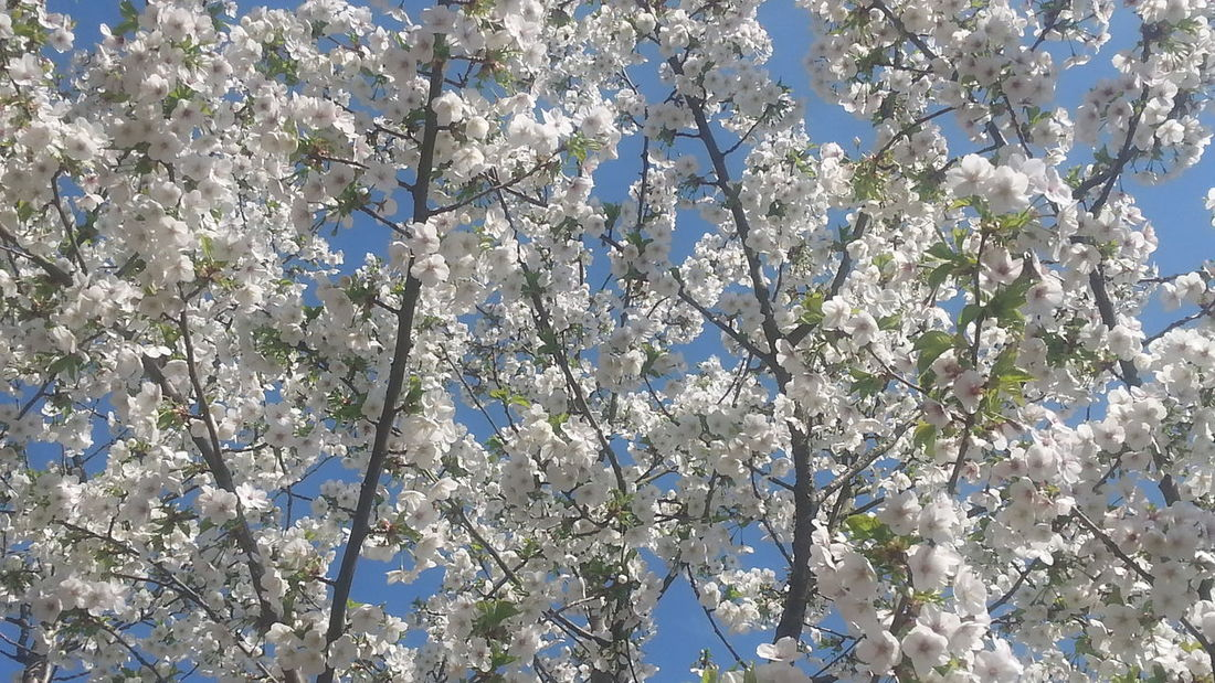 Blossom Blue Sky Enjoying Life Nature Outside Spring Flowers,Plants & Garden Taking Photos White