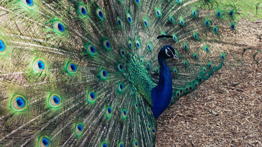 The peafowl enjoy at Caversham wildlife park, Perth, Western Australia Photography Tourism View City Landscape STAND Alone Sightseeing Enjoy Peacock Animal Themes Animal Peacock Feather Bird Feather  One Animal Vertebrate Animal Wildlife Animals In The Wild Fanned Out Blue Beauty In Nature No People Multi Colored Close-up Day Nature Natural Pattern Male Animal