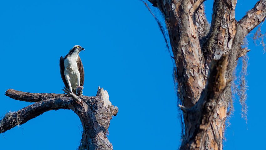 Animal Themes Animal Wildlife Animals In The Wild Beauty In Nature Bird Birdofprey Blue Branch Clear Sky Day Low Angle View Nature Nature Nature Photography Nature_collection No People One Animal Osprey  Outdoors Perching Perching Bird Tree Tree Trunk Wildlife