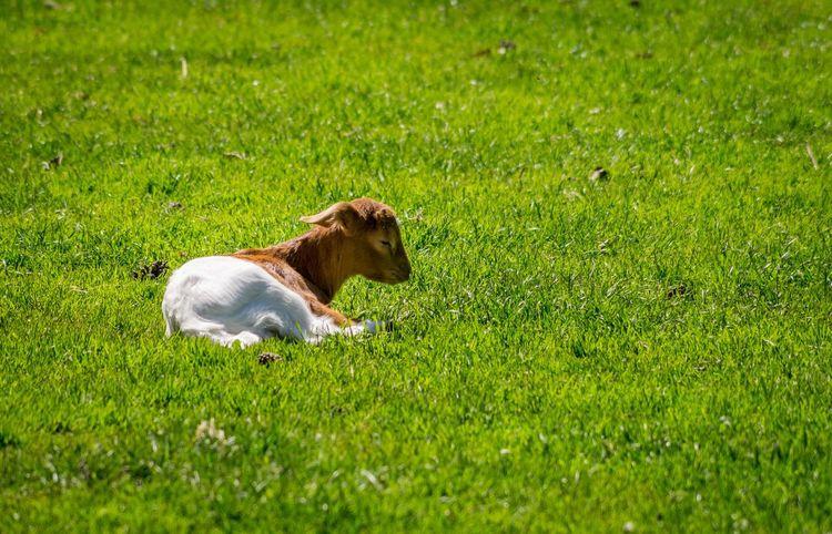 Lamb Babylamb Babygoat Green Grass Lamm Ziege Grünes Gras Wildpark Mechernich