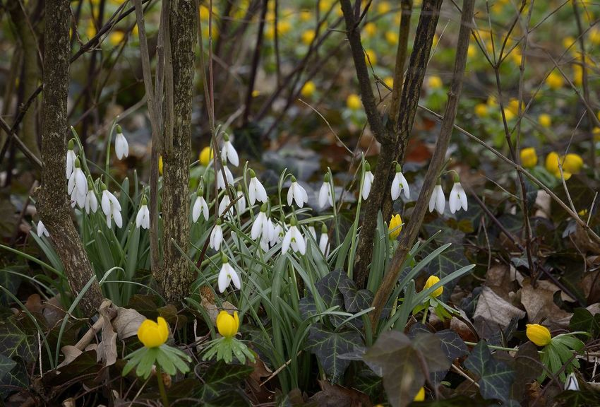 Beauty In Nature Close-up Flower Freshness Green Color Growth Nature Plant Snowdrops Springtime Winter Aconite Yellow Color