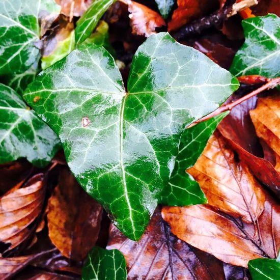 Ivy Leaf Autumn Colours