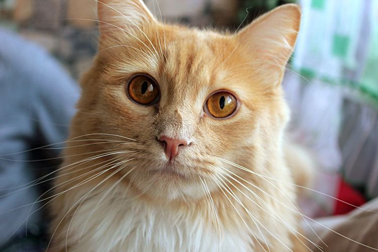 Pet Animal Themes Ragdoll EyeEm Selects Cat Mammal Pets Feline Domestic Domestic Animals Domestic Cat One Animal Whisker Focus On Foreground Looking At Camera My Best Photo