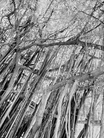 Tree Nature Tree_collection  Nature Photography Tree View Tree Photography Banyan Tree Banyan Root Of Banyan Tree Banyan Root Low Angle Low Angle Shot Low Angle View Black And White Black And White Tree Black And White Photography