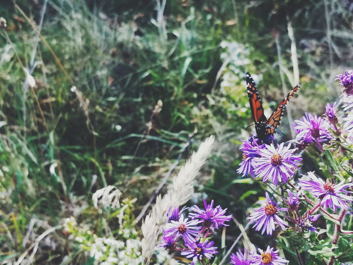 Flower Insect Animal Themes Nature One Animal Animals In The Wild Purple Fragility Plant Day No People Animal Wildlife Beauty In Nature Freshness Butterfly - Insect Outdoors Focus On Foreground Growth Flower Head Perching Monarch Butterfly Butterfly