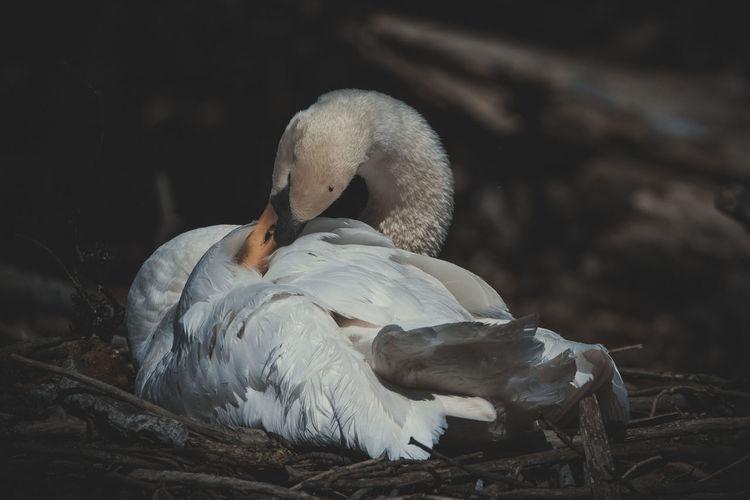Close-up of swan on lake