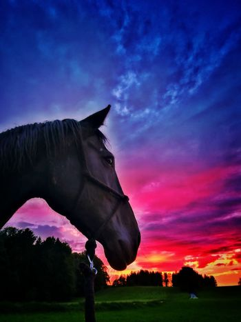 Sky Outdoors No People Cloud - Sky Grass Rural Scene Domestic Animals Nature Close-up Animal Themes Horse Black Horse Sunset Photography Dusk Rural Landscape Beauty In Nature Scenics Multi Colored Silhouette Sunset Landscape Dramatic Sky Playing With Colours Tranquil Scene