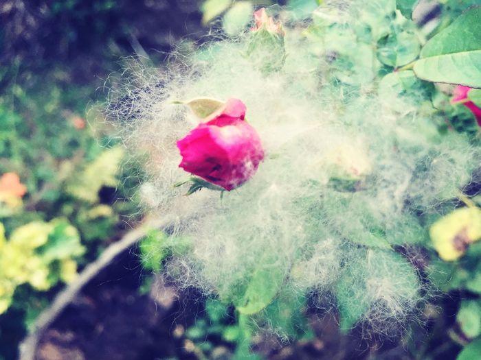 The Essence Of Summer Cottony Rose