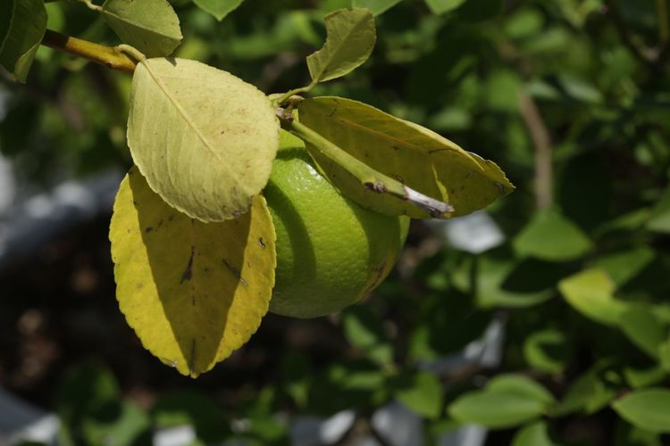 Close-up Leaf Focus On Foreground Green Color Growth Branch Day Outdoors Nature Freshness Green Beauty In Nature No People Yellow Color My Favorite Things Bluffton SC j.J lemon tree Lemon looks like a lime South Carolina Tranquility Plant