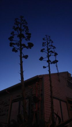 Hanging Out Moonscapes Unfiltered Unedited Nightphotography Summertime San Francisco Naturerox Treasure Island Treethugger Flower Yucca