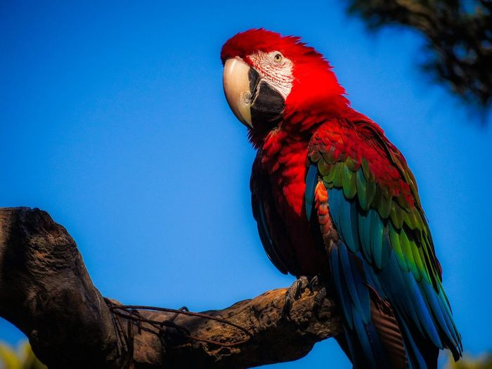 Low angle view of scarlet macaw perching on tree