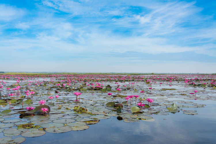Pink or Red lotus blossoms of thailand Beauty In Nature Flower Flowering Plant Sky Water Pink Color Nature Cloud - Sky Water Lily Plant Tranquility Lake Day Freshness Floating Floating On Water Tranquil Scene Growth Waterfront No People Lotus Water Lily Outdoors
