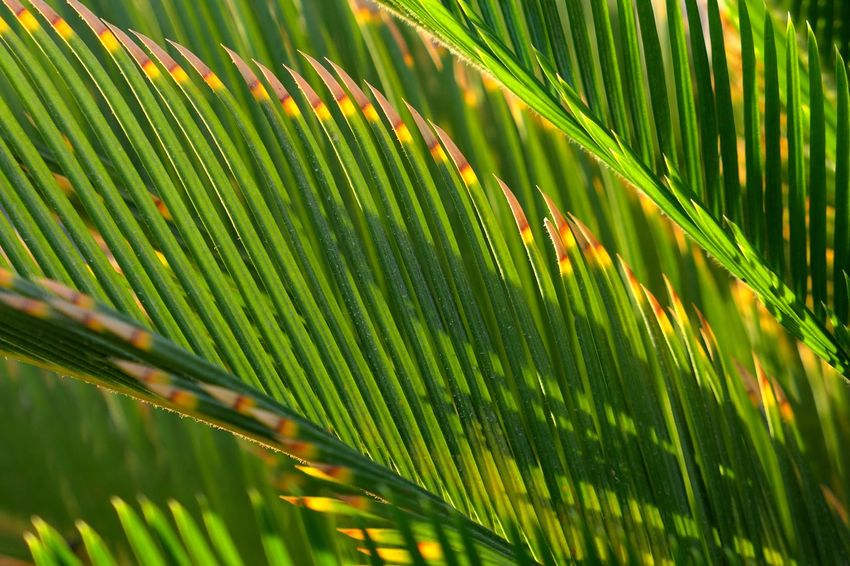 Tropical Climate Green Color Leaf Growth Plant Nature Plant Part Palm Leaf Palm Tree No People Beauty In Nature Close-up Day Sunlight Outdoors Natural Pattern Tree Leaves